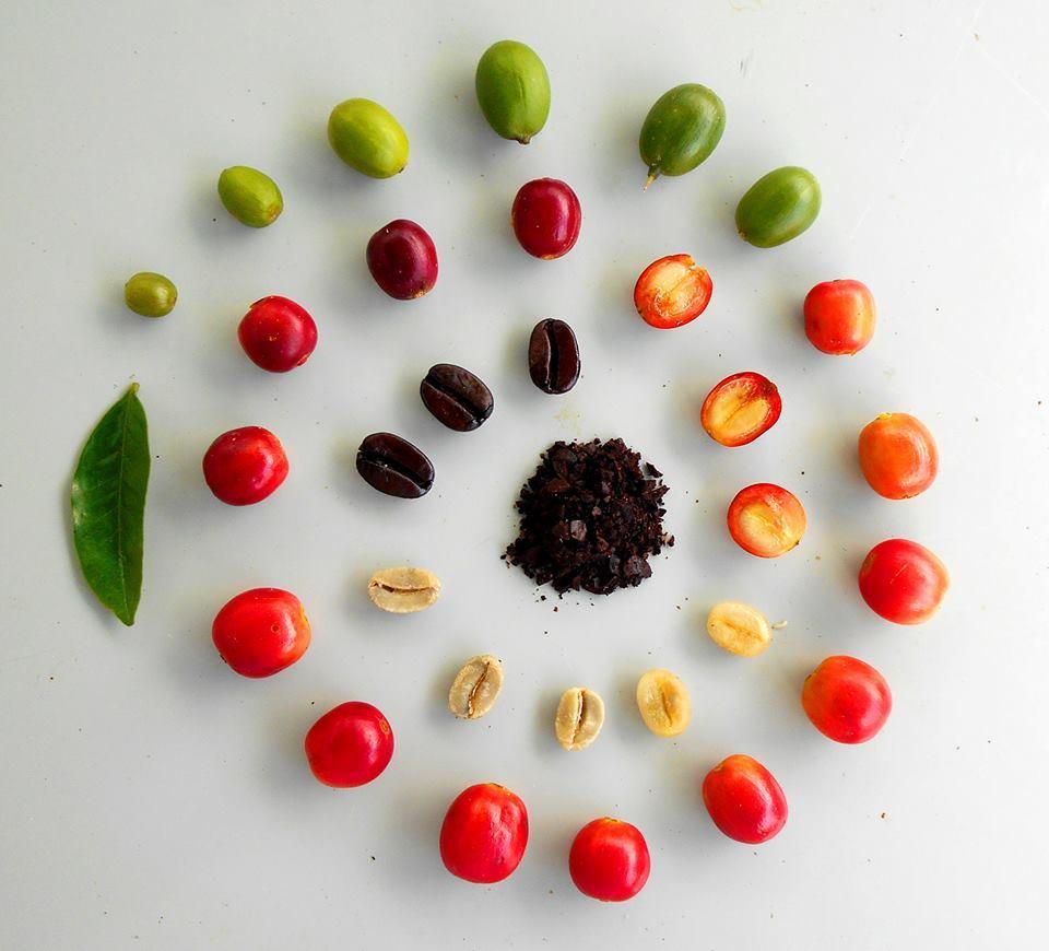 Кофейные зерна по стадиям созревания
