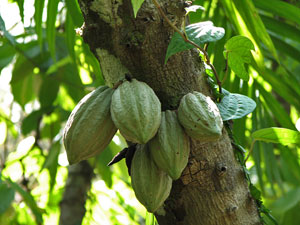 cacao-planta.jpg