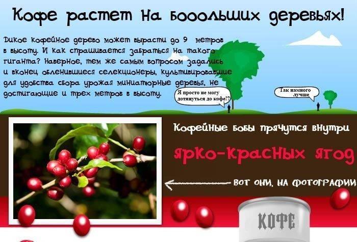 Кофе растет на больших деревьях. Дикое кофейное дерево может вырасти  до 9 метров в высоту. Собственно селекционеры и вывели для удобства культивации до 3 метров в высоту деревца.