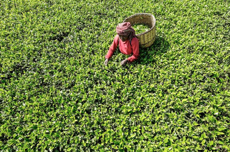 Вслед за кофе расшифрован геном чая