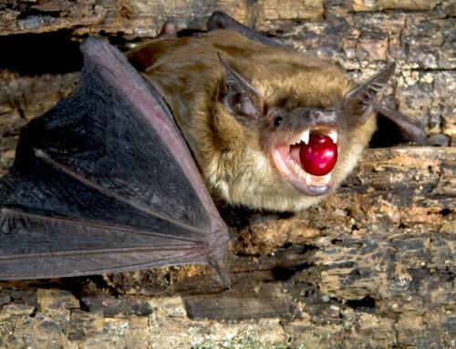 Bourbon Pointu и дикая летучая мышь из Мадагаскара: африканский ответ Копи Лювак